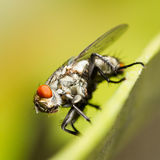 Macro of fly on leaf on blurred green background Royalty Free Stock Photos
