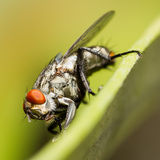 Macro of fly on leaf on blurred green background Royalty Free Stock Photo
