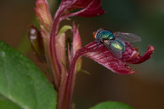 Macro fly on a leaf. Close up of a common fly on a leaf Stock Image
