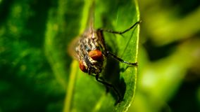 Macro of a Fly on a Leaf Royalty Free Stock Photography