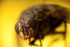 Macro fly Stock Photography