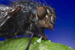 Macro fly portrait. Macro portrait of a fly on a blue background Royalty Free Stock Photography
