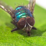 Macro fly portrait. On a green leaf Stock Image