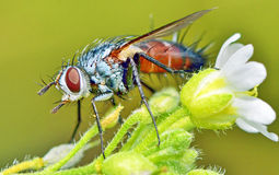 Macro fly portrait Stock Photos