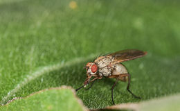 Macro fly portrait. Red eye. Sitting on the leaf and eating pollen Royalty Free Stock Photography