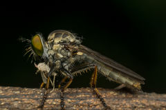 Macro of fly (Robber Fly, Asilidae, Predator) insect. Close up on the leave in nature Royalty Free Stock Images