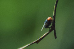 Macro Fly Sitting in a Branch royalty free stock photo