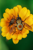 Macro of fly on Yellow Flower Royalty Free Stock Photography