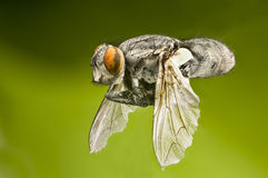 Macro of a flying fly Royalty Free Stock Image