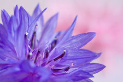 Macro fo cornflower. On pink background Royalty Free Stock Image