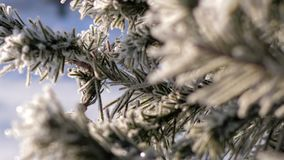 Macro focus changes pine branch needles in hoarfrost. Macro focus changes showing pine tree branch with needles in hoarfrost shining in sunlight on frosty winter stock video