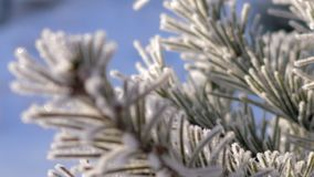 Macro focus changes showing pine needles in hoarfrost. Fantastic macro picture focus changes showing pine tree needles in hoarfrost shining in sun rays on frosty stock video footage
