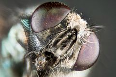 Focus Stacking - Common Green Bottle Fly, Greenbottle Fly, Flies. Macro Focus Stacking - Common Green Bottle Fly, Greenbottle Fly, Flies Stock Image