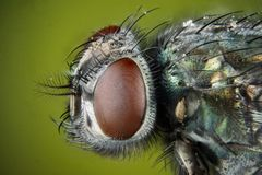 Focus Stacking - Common Green Bottle Fly, Greenbottle Fly, Flies. Macro Focus Stacking - Common Green Bottle Fly, Greenbottle Fly, Flies Stock Images