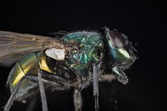Focus Stacking - Common Green Bottle Fly, Greenbottle Fly, Flies. Macro Focus Stacking - Common Green Bottle Fly, Greenbottle Fly, Flies Royalty Free Stock Photography