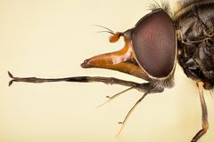 Common Snout-hoverfly, Heineken Hoverflies, Heineken Fly, Rhingia campestris. Macro Focus Stacking - Common Snout-hoverfly, Heineken Hoverflies, Heineken Fly royalty free stock photography