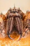 Giant House Spider, House Spider, Eratigena atrica stock image