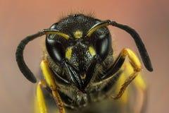 Mason Wasp, Wasp, Ancistrocerus sp stock photography