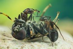 Wood ant, Ant, Ants, Formica rufa. Macro Focus Stacking - Wood ant, Ant, Ants, Formica rufa Royalty Free Stock Photo