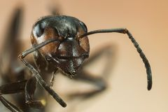 Wood ant, Ant, Ants, Formica rufa. Macro Focus Stacking - Wood ant, Ant, Ants, Formica rufa Stock Photos