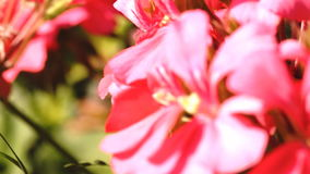 Macro focus zoom in and out on serene pink flowers in the wind stock footage