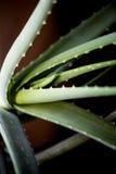 Macro foglia dell'aloe curativo Vera della pianta facials Fotografia Stock