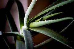 Macro foglia dell'aloe curativo Vera della pianta facials Fotografie Stock