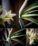 Macro foglia dell'aloe curativo Vera della pianta facials Macro gigli crema Un simbolo di rilassamento e di bellezza Rilassamento Immagini Stock Libere da Diritti