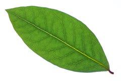 Macro foglia verde dell'alloro su fondo bianco Immagine Stock Libera da Diritti