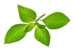 Macro foglie del basilico su un fondo bianco Menta, Fotografia Stock