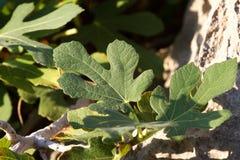 Macro foglie del fico Albero di Ficus carica Fotografia Stock