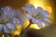 macro fond de bokeh de lumière de l'eau de baisse de fleur blanche Images stock