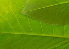 Macro fond de feuille texturisée en vert vibrant photo stock