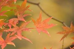 Macro fond des feuilles d'Autumn Maple de Japonais Photos stock