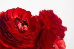 Macro fondo bianco dei fiori rossi appassionati Priorità bassa floreale della sorgente fotografia stock libera da diritti