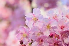 Macro fondo dei fiori di ciliegia di rosa giapponese nel telaio orizzontale Immagine Stock Libera da Diritti