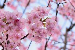 Macro fondo dei fiori di ciliegia di rosa giapponese nel telaio orizzontale Fotografia Stock