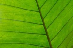 Macro fondo della foglia strutturata nel verde vibrante fotografia stock libera da diritti
