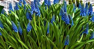 Macro fondo della foto con le primaverine in anticipo decorative della molla in tonalità di colore blu in vasi del giardino Immagine Stock