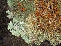 Macro fondo della natura del lichene Fotografia Stock