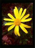 Macro fondo giallo e carta da parati del fiore selvaggio nell'alta qualità fotografia stock libera da diritti