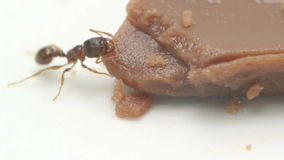 Macro footage of an ant Royalty Free Stock Images