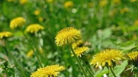 Macro footage of Dandelion Taraxacum campylodes, yellow flower of young dandellion in lush grass shaking on wind pull. Focus shot 4k stock video