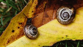 Macro footage of two small snails on yellow leaf. One snail is crawling away, another is sleeping. Selective focus, steady footage, extreme close-up stock footage
