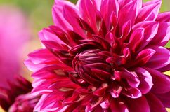 Closeup of a magenta dahlia blossom of the formal decorative type Royalty Free Stock Image