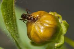 Macro formica Fotografia Stock