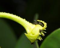 macro formica su un fiore Fotografia Stock Libera da Diritti