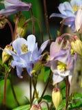 Macro foto con colore blu del fondo dei petali decorativi di struttura delle piante erbacee Aquilegia Immagine Stock