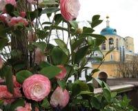 Macro foto con fondo decorativo di bei fiori con i petali di tonalità rosa delicata delle piante della camelia Immagine Stock Libera da Diritti