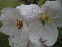 Macro foto con fondo decorativo con le gocce di pioggia sui petali dei fiori di Apple fotografia stock